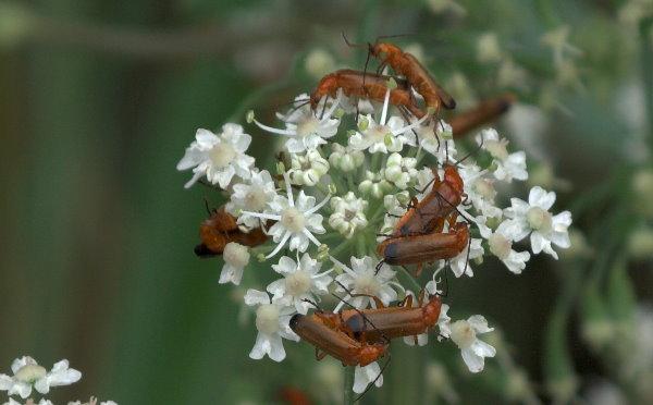 Braune Käfer auf weißen Blüten