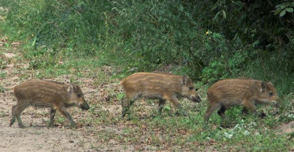 Wildschweine. Frischlinge im Gänsemarsch.