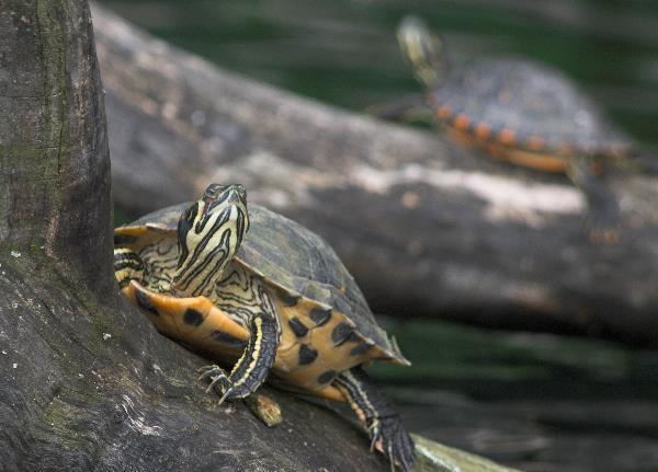 2010.  Neugierige Schildkröte im Plötzensee. Foto: Thomas Gade