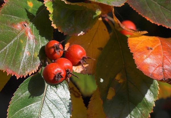 Rote Beeren. Herbst.