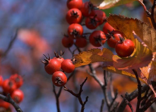 Rote Blätter und rote Beeren.