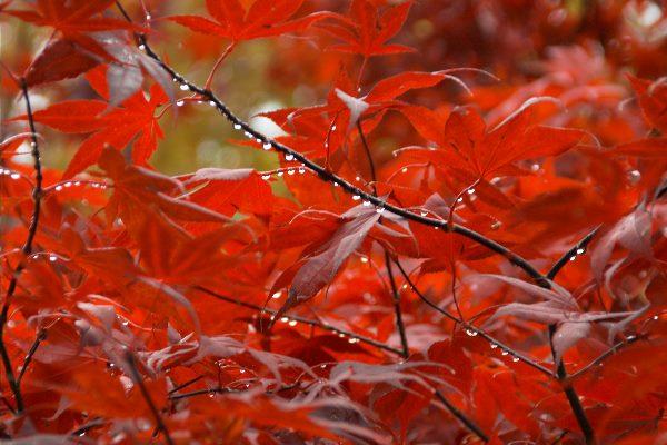 Rotes Herbstlaub mit Regentropfen