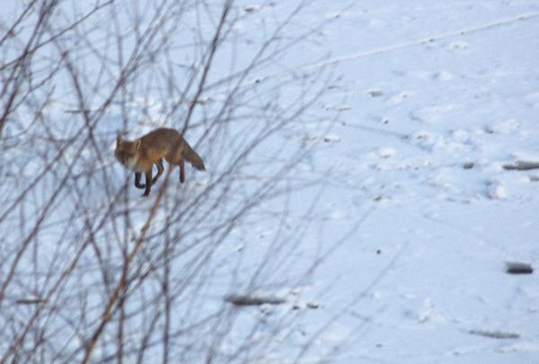 Ein Fuchs überquert den Berlin-Spandauer-Schifffahrtskanal
