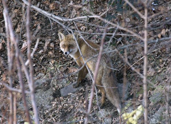 Berlin -  Der Fuchs am Nordufer