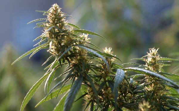 Hanf (Cannabis sativa). Hanfgewächse