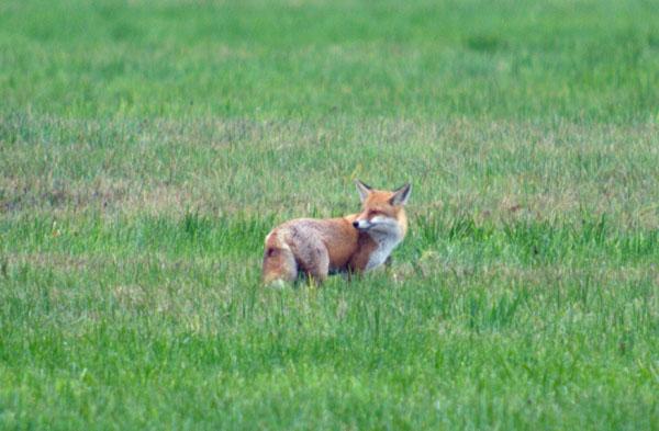 Fuchs im Rhinluch. Zu weit weg für ein gutes Foto.
