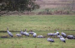 Kraniche. Kontrastloses Grau in Grau im trüben Wetter