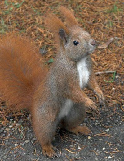 das eichhörnchen am baum « oxly3