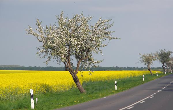 26. 4. 2014. Brandenburg. Linum. Flora. Pflanzen. Blühender Obstbaum an einem blühenden Rapsfeld. Gelbe Blüten