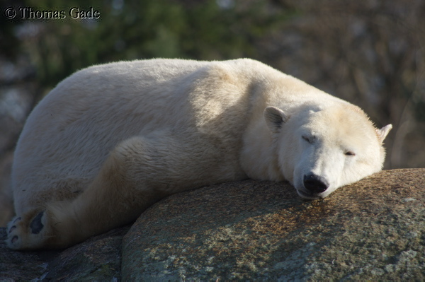 7. 2. 2014. Berlin. Tiergarten. Zoologischer Garten Berlin. Tiere. Eisbär. Ursus maritimus