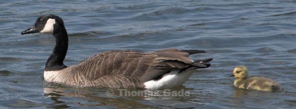 10. 5. 2009. Berlin. Am Tegeler See. Fauna / Tiere. Vogel. Vögel. Wasservogel. Kanadagans (Branta canadensis) Küken