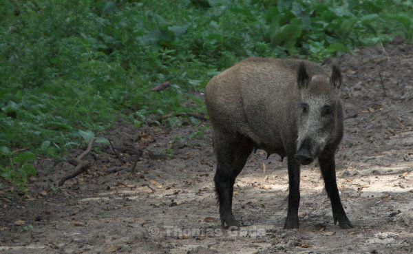 wildschwein-01